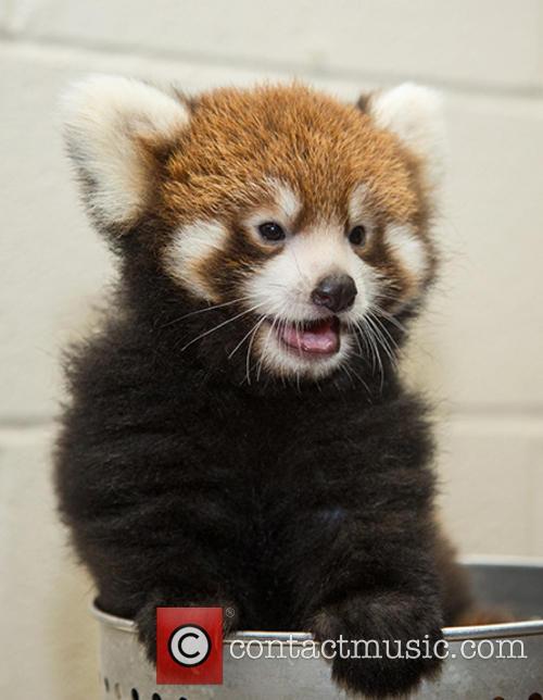 Red Panda Birth at Nashville Zoo