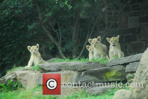 Four Lions Cubs 2