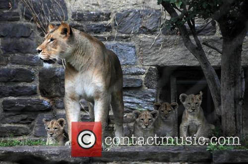 Four Lions Cubs 3