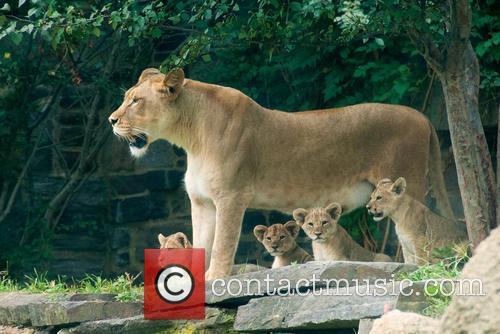 Four Lions Cubs