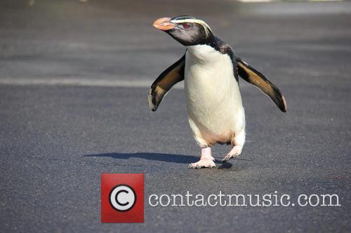 Taronga Zoo Penguin Has and Happy Feet 3
