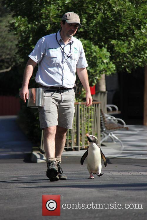 Taronga Zoo Penguin Has and Happy Feet 5