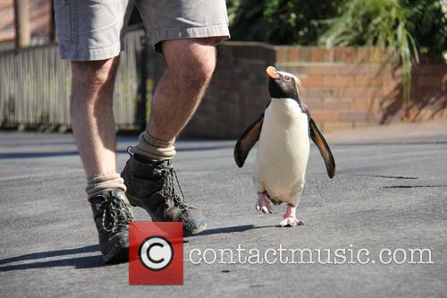 Taronga Zoo Penguin Has and Happy Feet 1
