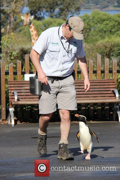 Taronga Zoo Penguin Has and Happy Feet 6