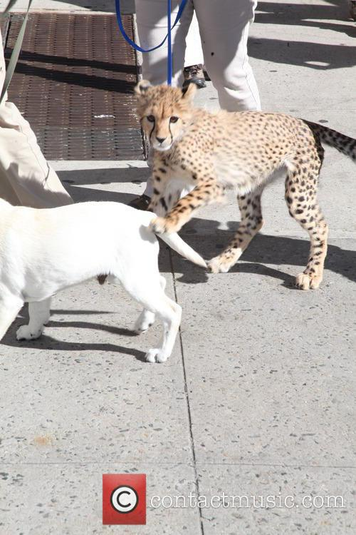 David Letterman, Labrador and Leopard 7