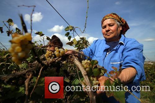 Bulgarian Grape Harvest