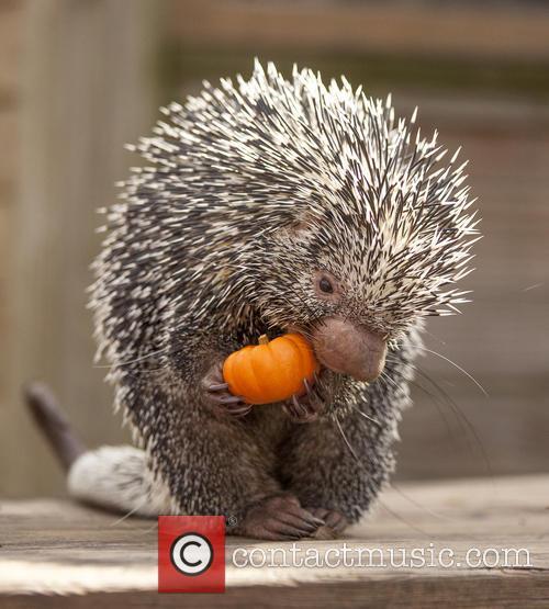 Porcupine Eats Pumpkin