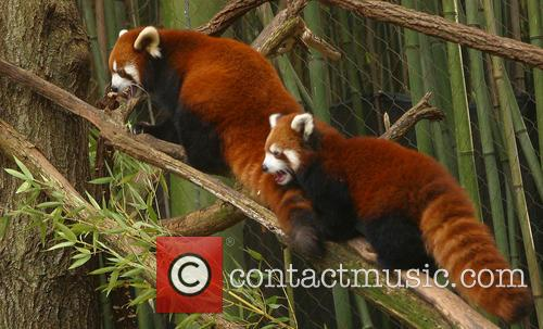 Red Panda Named