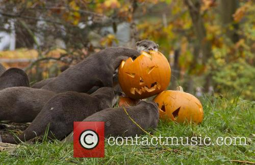 Otters put on a spooktacular display for Halloween...