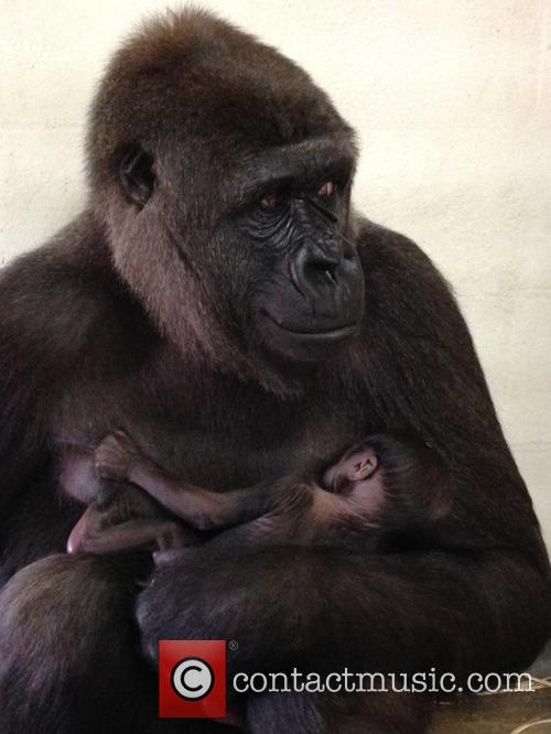 Baby Gorilla and Mother Portraits 2