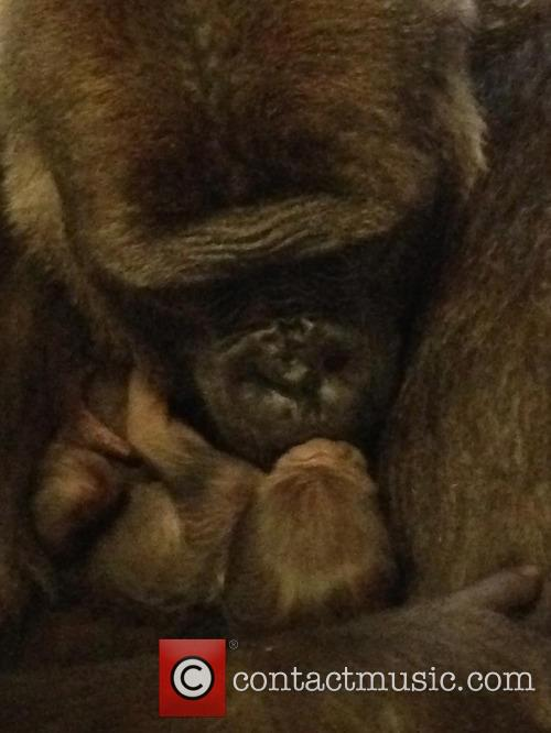 Baby Gorilla and Mother Portraits 4