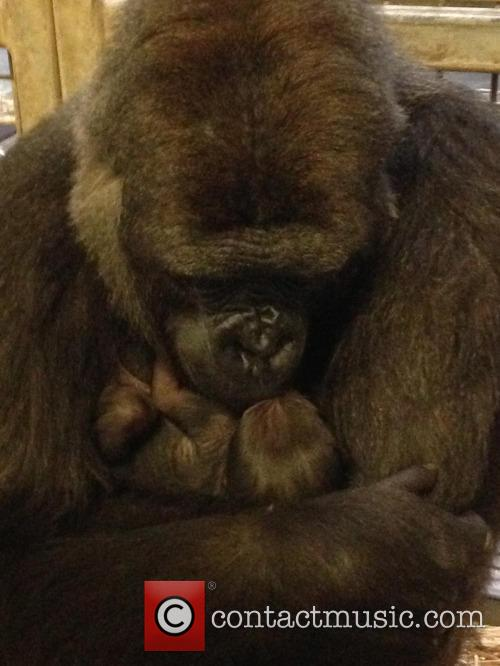 Baby Gorilla and Mother Portraits 5