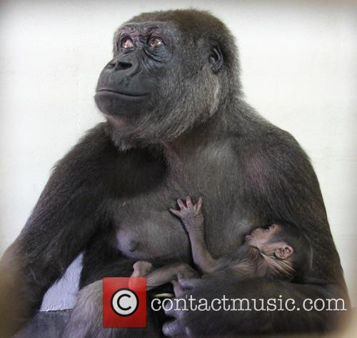 Baby Gorilla and Mother Portraits 7