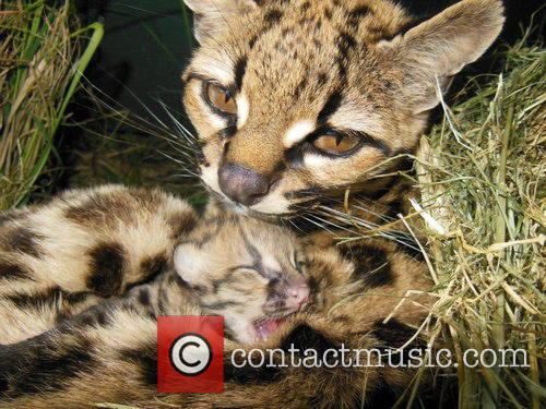 Rare Margay Kitten Born and Uruguay 2