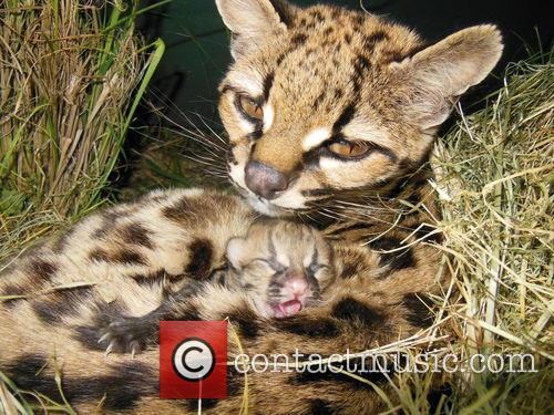 Rare Margay Kitten Born and Uruguay 3
