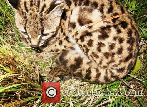 Rare Margay Kitten Born and Uruguay 5