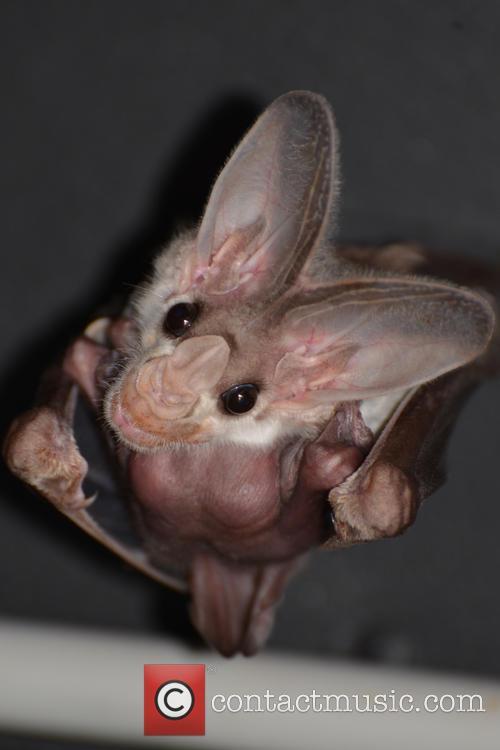 Ghost Bat Birth 5