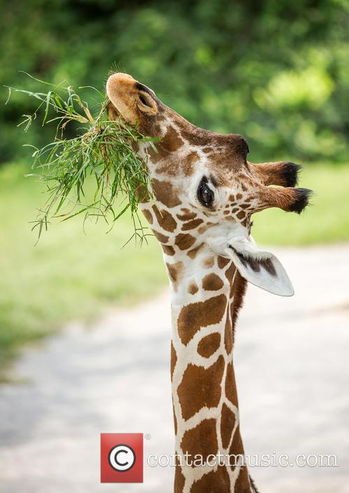 Reticulated Giraffe Nibbles Tuft of Grass