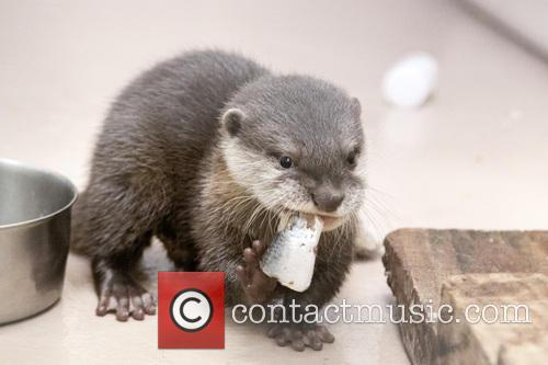 Cute Feisty Little Asian and Small Clawed Otter 2