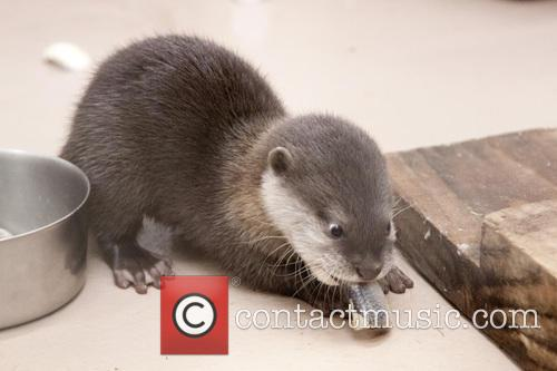 Cute Feisty Little Asian and Small Clawed Otter 1