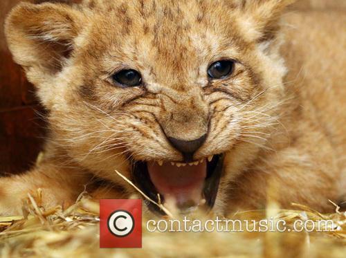 Lion Cubs 5