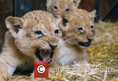 Lion Cubs 6