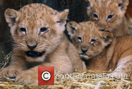 Lion Cubs 9