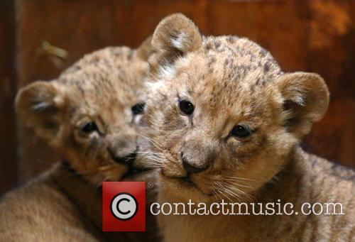Lion Cubs 10