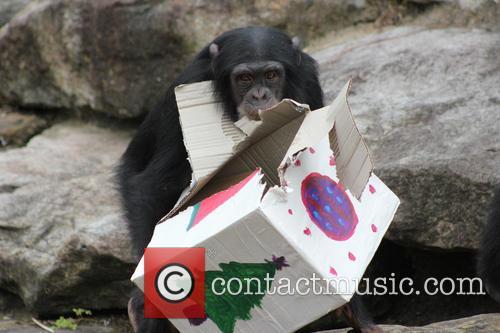Christmas Comes Early for Taronga's Chimpanzees