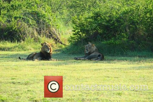 African Parks, Translocate, Reintroduce Lions Into Akagera and National Park Rwanda 1