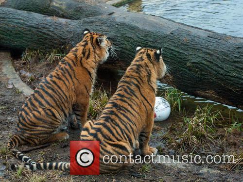 Stock and Sumatran Tiger 7
