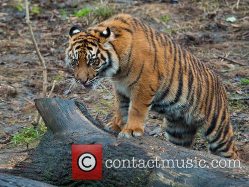 Stock and Sumatran Tiger 8