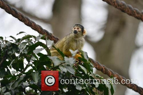 Black-capped Squirrel Monkey 1