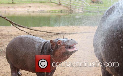 Cool Hippo 2