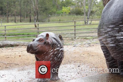 Cool Hippo 3