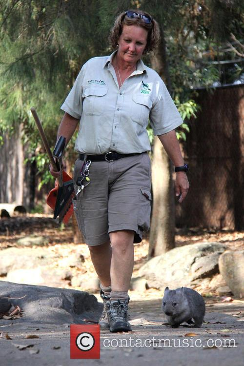 Orphaned Wombat Continues Walk and Towards The Wild 3