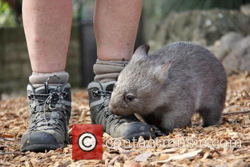 Orphaned Wombat Continues Walk and Towards The Wild 4