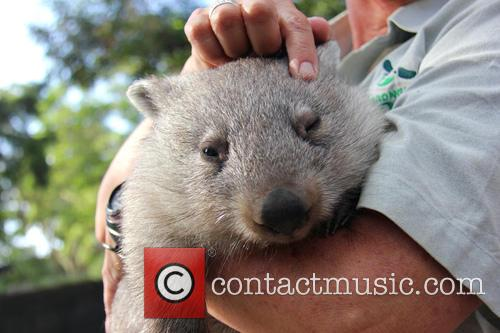 Orphaned Wombat Continues Walk and Towards The Wild 5