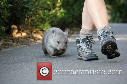Orphaned Wombat Continues Walk and Towards The Wild 7