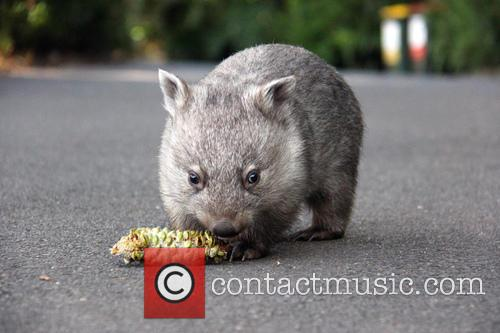 Orphaned Wombat Continues Walk and Towards The Wild 8