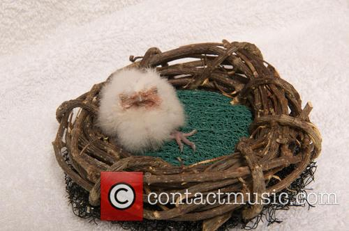 First Tawny Frogmouth Chick, Year Hatches and Seaworld Orlando 1