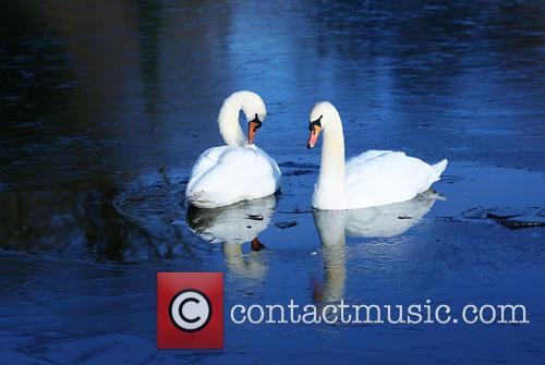 Swans in a frozen lake