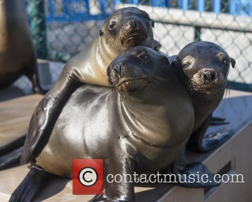 Record numbers of sea lions stranded on the...
