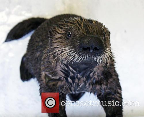 Rescued Sea Otter Pup, Moves, New Home and Seattle Aquarium 2