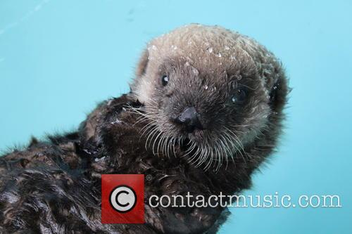 Rescued Sea Otter Pup, Moves, New Home and Seattle Aquarium 3
