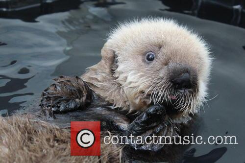 Rescued Sea Otter Pup, Moves, New Home and Seattle Aquarium 4