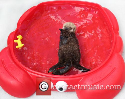 Rescued Sea Otter Pup, Moves, New Home and Seattle Aquarium 5