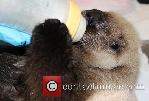 Rescued Sea Otter Pup, Moves, New Home and Seattle Aquarium 6