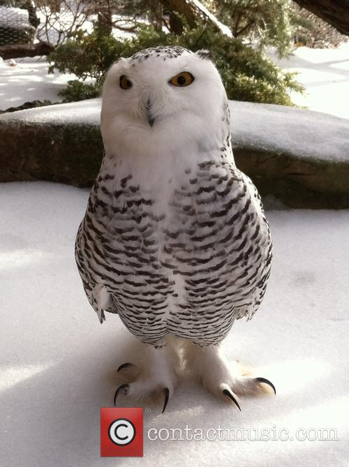Snowy Owl and Nashville 1