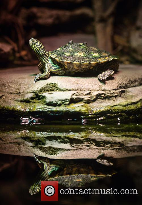 Reflective Turtle Comes Out and Its Shell 1